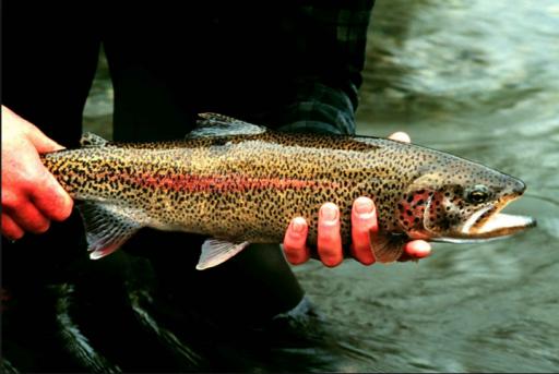 GMO salmon