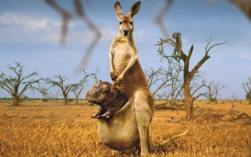 hippo-in-kangaroo-pouch-funny-picture